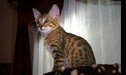 F2 savannah kitten,she is vaccinated, registered, wormed, flea prevention treatment and in the case of she is  neutered. Raised as part of our family in home environment .she is  home raise and good with other house pets and children , very