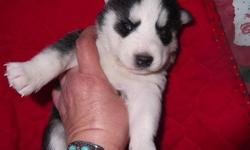 WE HAVE TWO BEAUTIFUL LITTERS TO CHOOSE FROM!!!!!!!!!!!!!!!!! Puppies will be ready DEC siberians come from the best kennels in the US. Thanks to them I am able to bring to the Central Valley Quality,Exellent temperaments, Gorgeous colors and markings.***