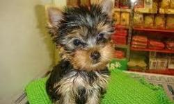 Meet Gidget a fun loving charming Tea Cup Yorkie puppy. Gidget has everything you want and more in a puppy! She is playful, sassy, and a darling addition to any home. She is pure breed with AKC registration. She stands out with a starless night black and