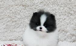 Charming Teacup pomeranian puppies for Adoption!.Note: Email us directly ( lonnatspace-60@yahoo.com ) for more information and Recent Pictures OR Text us your email @ () -