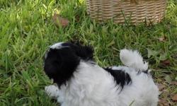 Check us out! Two of the cutest puppies you have ever seen! We have Bently, our black and white Parti-poo. We have Boston another Parti-poo that is white with beige ears and beiges marking. He has dreamy eyes.The parents are both registered. Sparky, the