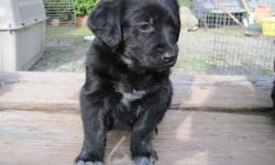 We have four male Golden Retriever mix puppies that are available for Xmas adoption and we will be visiting Grover Beach, December 23 through December 27. The father is unknown but it appears to be a black lab or black lab mix. The mother is a purebred
