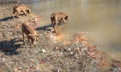 Chesapeake Bay Retrievers, AKC registered, 3 males, born 7/10, shots and wormed, parents on premises, started retrieving feathers on land and water. Additional pictures and pictures of parents available upon request. $300.00 each. Pelzer (Greenville