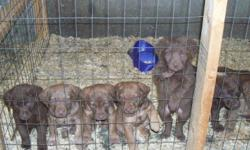 AKC registered. 5 males 2 females. Parents on premises. 1st shots given. Brown in color. Very beautiful!!! Great with kids