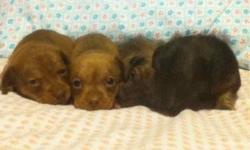 Mother is AKC papered Dachshund and the father is a full breed chiuaua. There are 6 boys and 2 girls... Please call or text me at 775.764.0216...