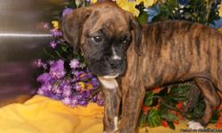 Visitors Welcome: Hug-A-Pup 4950 W. Irving Park Rd. Chicago,Il. 60641...CALL: Susan: 773-327-2050 or 708-299-2850...Gorgeous Reverse Brindle, Female. XTRA NICE. Prespoiled and Well Socialized. Great with Children. Registered. Shots/Worming UTD. *^*We have