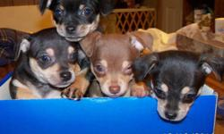 Chihuahau purebred puppies. CKC registered. Two males, two females. one male is brown/tan, three are black/tan.Seven weeks old Dec 16. $450 each. email rae@nemont.net.
