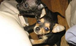Born November 23rd Males Black Black/Tan Mother is half Yorkshire/Rat Terrier Father is Chihauhua Will ship
