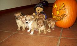 Beautiful Chihuahua puppies Long/Short hair.