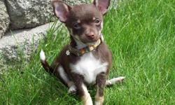 We have an adorable 7 month old Chihuahua. We need to find her a new home because my husbands allergies/asthma have gotten severely worse. She is crate trained and trained to use a dog door. She is current on all shots, but has not been spayed yet. She