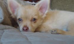 HE'S 13 WKS & READY TO GO! WEIGHS 4.4 LBS, SHOULD CHART AROUND 6 LBS. HE'S GOT GREENISH EYES, HIS EARS ARE UP, HE'S VERY SWEET & PLAYFUL, LIKES TO BE HELD, HAS GREAT DISPOSITION (WILL MISS HIM), GREAT LOOKING COAT. FATHER IS AKC & ACA SH FROM CHAMPION