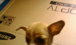 chihuahua tiny puppys 10 weeks old male and female with shots verry nice. $250