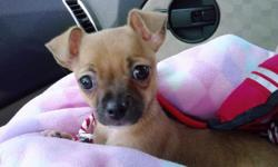 4 MONTH OLD BROWN FEMALE CHIHUAHUA WITH BLACK NOSE WHY SO CHEAP SHE GOT DE-WORMED BUT SHE HAS NOT RECEIVED HER SHOTS HAVE TO SELL HER TRAVEL TO MUCH SHE IS ALSO PAPER TRAINED YOU CAN CALL 716 304-6936 OR E-MAIL ME jc.ministry@yahoo.com