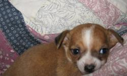 Female baby, Chihuahua tan and white. Special baby for that special Christmas Surprise.