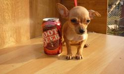 BAMBI is a beautiful female Chihuahua who was born 09/04/'10. She is utd on her shots and wormings and is very loving. Bambi will make a great companion.