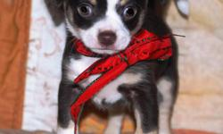 Christmas Chi Pup! This is Darian. He is a beautiful brown, white and tan smoothcoat who is ready to go to his new home Dec 23rd. Darian is a home-raised pup with wonderful breeding. He is sweet, very playful and curious. Health certificate and 1st