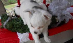 CKC Reg. 1-Male, Black w/white paws... 1-Female, White w/Blue Murl Spots, and blue eyes...