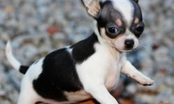 Chihuahua Male & Female Pups -$550USD         1/1 Chihuahua Male & Female Pups     Male medium long coat. NEUTERED. Will be around 5-6 lbs. grown.