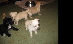 I have chiapoo pup. a female That looks like the mom {chihuahua}I have one white /cream .color .dad is a 5lbs toy poodle. $250. she is 15 weeks old and ready and looking for her new home..