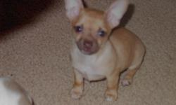 8 week old Chihuahua puppies. 2 female, 2 males, family raised, both parents onsite. Father only weighs 2 lbs. they will stay small