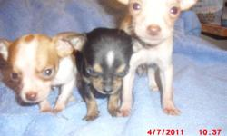 3 tiny Chihuahua 8 weeks old 1st shot/dewormed boy and girl looking for a good home.