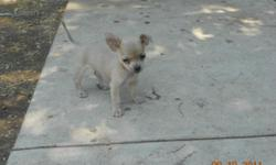 2 female chihuahua puppies for sale 7 weeks old first shot and dewormed. Call or Text 956-867-9819