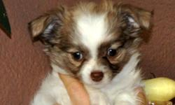 ALL sold!! visit my website  http://lasvegastinychihuahua.webs.com Las Vegas,NV. Chihuahuas puppies female 12 weeks old. Long hair, has a beautiful apple head with a short nose. she will be small They have a very coby short body. Father is AKC 3