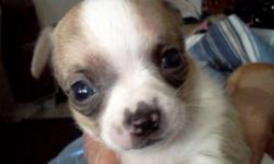 I have 4 hybrid chihuahua puppies mixed with blue and terrior chihuahua . They are 5 wks and weened. 3 males and 1 female .. adorable and would make perfect stocking stuffer or gift.. text me @ -