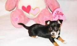 Chihuahua puppies available now. 1 chocolate female. 1 black male. Short hair. Born 12/16/10. CKC reg. 1 year Health Guarantee. Currrent on vaccines. Raised in my home, playful and so...cute! Call Debra 334-794-0492 www.yourpuppystop.com Email
