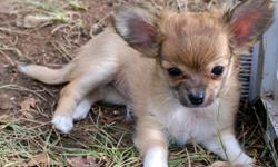 AKC Long Coat Chihuahua boys. CH Grand-sired. Pedigree available. Apple heads and upright ears. These guys are already MICROCHIPPED. First vaccination shot with Progard 5. Their dewclaws have been removed at 3 days old for safety and ease of nail