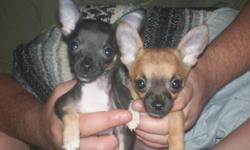 - Two tiny Adorable Chihuahua puppies 1 male & 1 female,Black,white/black,tan, short hair.Fully dewormed, Asking:[$300.00-$400.00]call for more info:[443-537-8478]