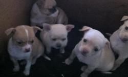 5 1/2 weeks old. Ready mid December. Hand raised in loving home. played with and cuddles. Need GOOD home ONLY!!! Call -