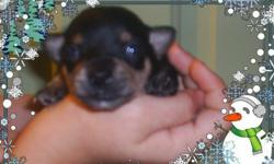 2 tiny males black and tan and red and tan born christmas night ckc reg. they are 7 weeks old have had 1 puppy shot and been wormed They have a puppy wellness ck from vet. they will make beautiful lap babies.