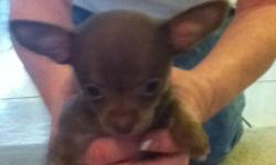 AKC Beautiful tiny female chihuahua puppies 7weeks old. 1 chocolate smooth coat, 1 solid black long coat, 1 brendle teacup. Awesome personalities, home raised, paper trained. $500 to happy homes. Taking deposits. Phone calls only, after 6:00pm