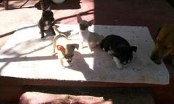 8 week old chihuahua puppies full-blooded w/papers 1st shots and de-wormed $75 call 256-517-8090
