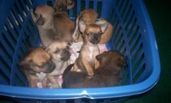 we have 4 CHI Pups Ready for Home they are very very playful and loving and have there dewormings and nails trimmed so far they are perfect to for Older Adults to have company or a Happy Home with Children..