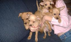 Cute tan puppies. you have to see!