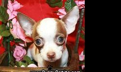 Look at these beautiful Chihuahua puppies 8 - 12 weeks old! Our puppies are registered and all the vaccines are up to date. Prices start at $450 for the Chihuahuas. If you would like to see our puppies in person, we are open from 11 AM to 9 PM every day.