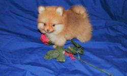 Small Chihuahua Puppies ready for their new forever homes. 2 males. Born 04/18/11. 4 months old. CKC reg. 1 year Health Guarantee. Raised in my home. Current on vaccines. Visit my website> www.yourpuppystop.com Call Debra 910-303-9710 Email