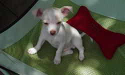 CHIHUAHUA PUPPY 3 MONTHS,FIRST SHOTS AND WORMED.ACA REGISTERED MALE WHITE WITH FAWN AND BROWN DAPPLING. $150