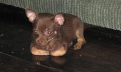 I have 2 male chihuahua puppies ready now..vet check/health certificates/shots/wormings...i raise them inside my home/doggie door/fenced in back yard to play in. they are 8 weeks today 5-20-11...please dont email me..call or text 417-650-1318