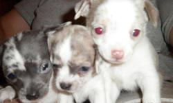We have three chihuahua puppies for sale. There are two blue merle males and one lavender and white female. We are selling them for $450.00 each. They will have first set of shots and wormed several times. Will be ready on August 1st at eight weeks old