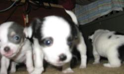 beautiful female short hair chihuahua puppy will be ready to go home on christmas eve. she is very playful both parents are on site and her weight will b between 5 and 7 lbs.
