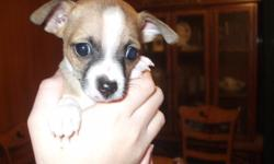 i have a pure bred chihuahua puppy,parents on premises;1 male ready to go. i provided his first shots and vet exam. he is such a sweetheart