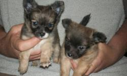 long hair male chihuahua puppys they have first set of shots & have been dewormed avalable on june 9 please call for more info........