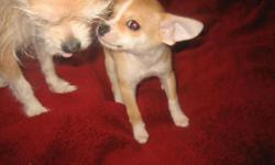 10 week old pure bread female, she is very sweet, with great markings. No pappers asking $75.00 please call 509-216-8742