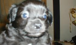 Black and white male chihuahua puppy, born May 10,  2012.  Long/short hair (doesn't shed), been wormed, paper training.  Hand raised in family oriented home.  $250.00 call Terry at () -.  Paws 4 Luv