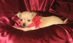 She is CKC registered. She is the teacup applehead type. She is now 9 weeks old and up to date on shots and wormings. She likes to prance around and is very playful. Call 561-688-3510