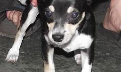 I have little short hair female Chihuahua. She was born on January 19th 2011. She is shorter and is mostly black with white socks and chest. She weighs approx. 4lbs and is $300. She is playful, loves to run around and loves attention. She comes with her