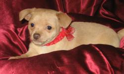 He is CKC registered born 10/19/2010 and is now 4 months old and up to date on shots and wormings. He is the apple head type. He is very loveable and gets along great with other pets and children. Call me at 561-688-3510